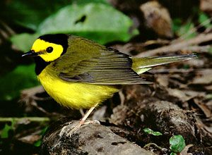 Beak of the Week: Hooded Warbler