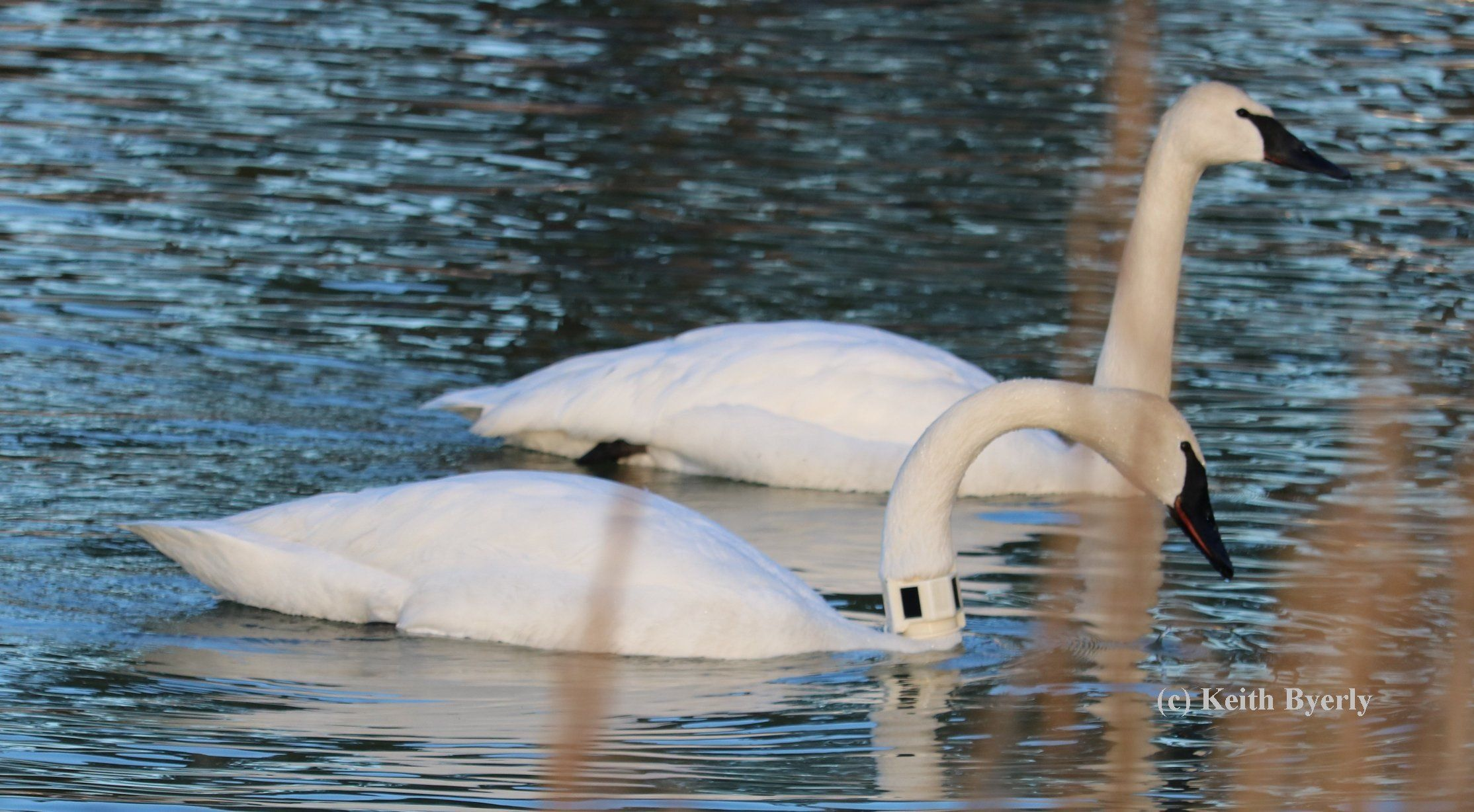 My Arkansas Swan Story