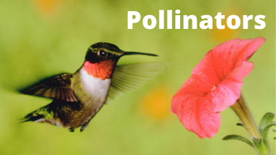 Audubon at Home: Pollinators