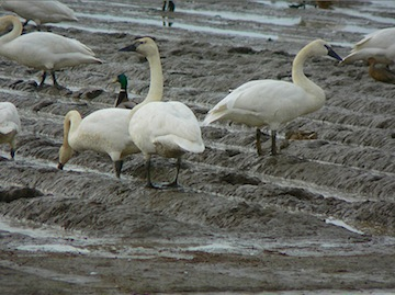 WA sets up hotline for sick swans