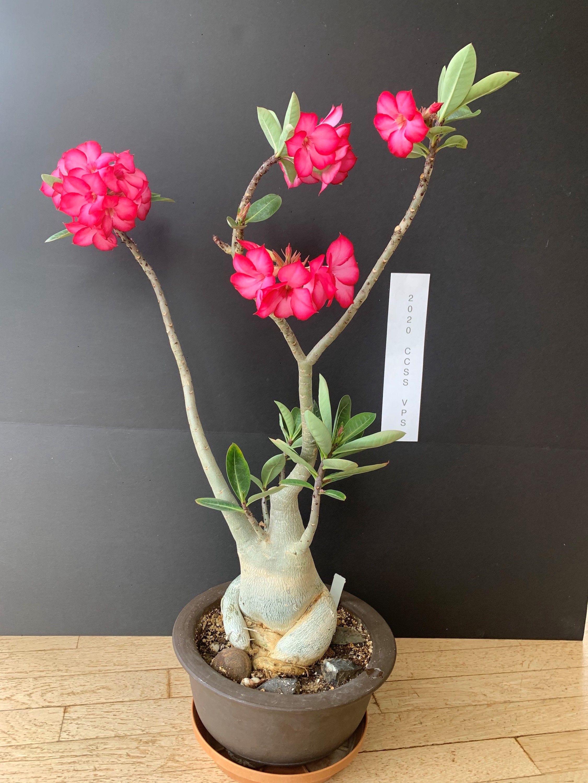 Adenium arabicum #1