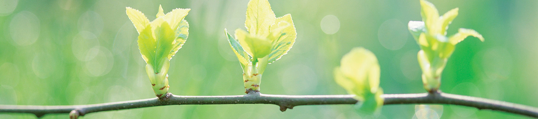 Image of small leaf buds on a tree branch
