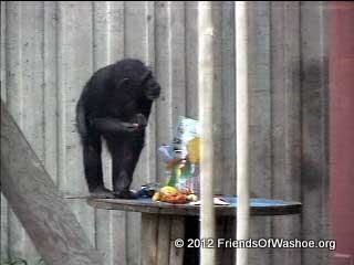 Moja interacts with enrichment in the outdoor area