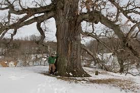 """White Oak Pack of 100 Seedlings (6""""-12"""")"""