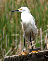 Snowy Egret (nonbreeding plumage)