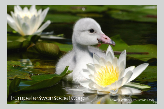 Fridge Magnet Swan Cygnet on a lily pad $4
