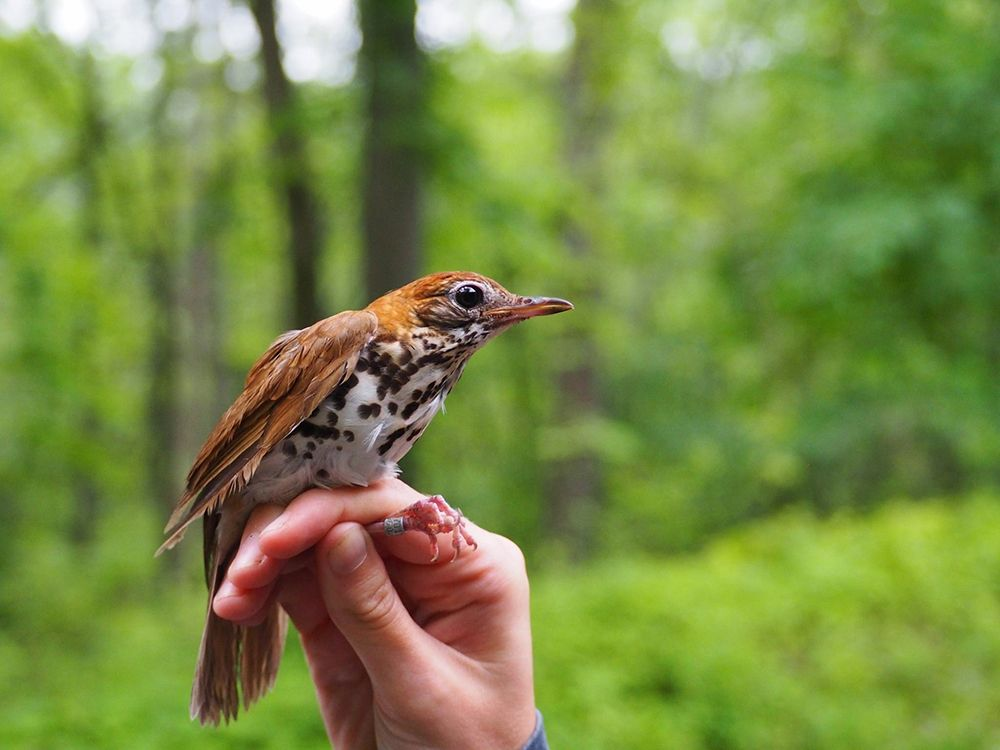 Wood Thrush by June Archer