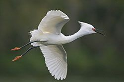 Snowy Egret (breeding plumage)