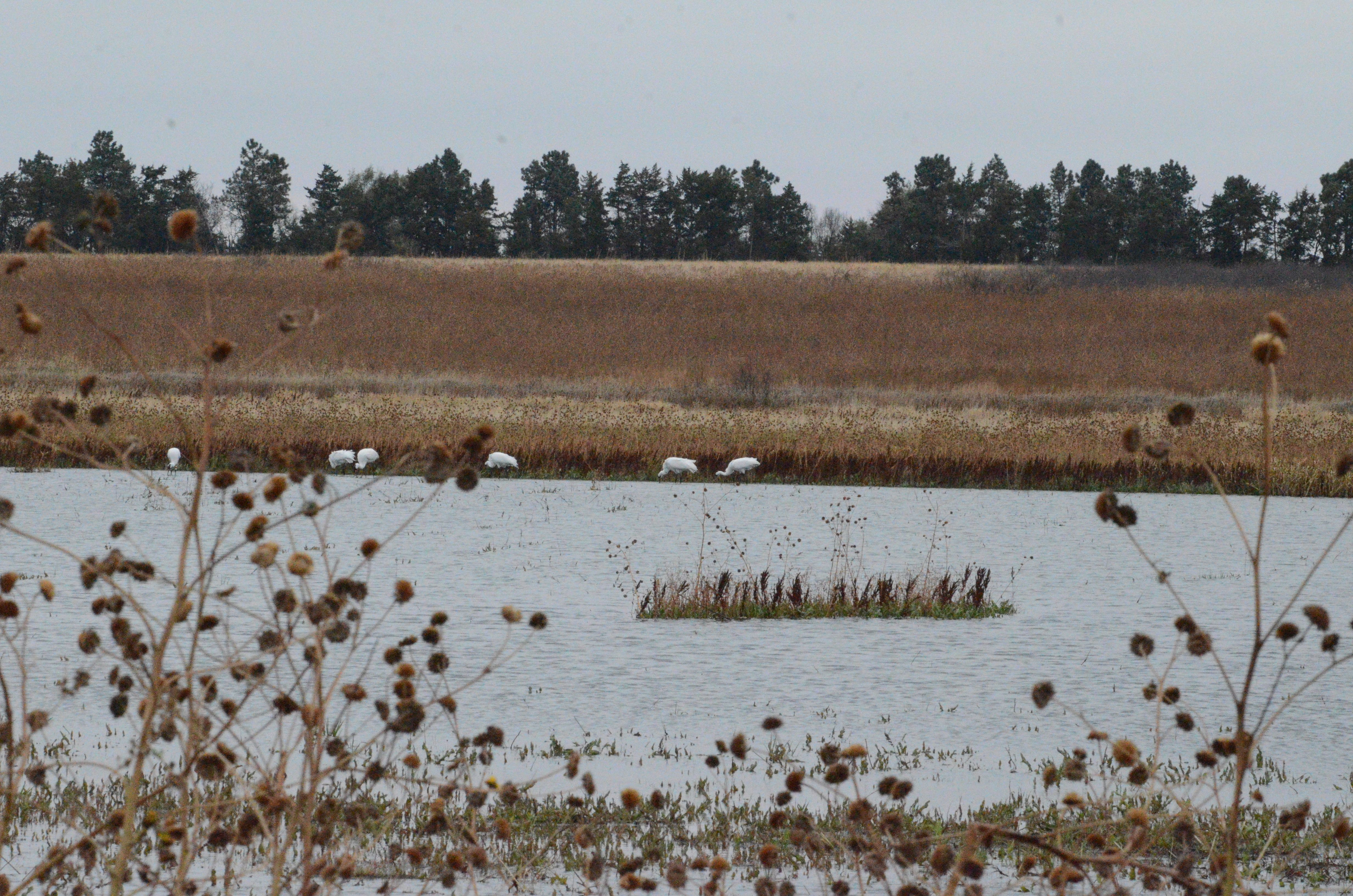 The Importance of Wetland Habitats for Whooping Cranes during Migration: World Wetlands Day