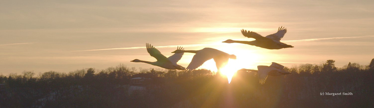Your tax deductible year end donation helps education and outreach programs about Trumpeter Swans