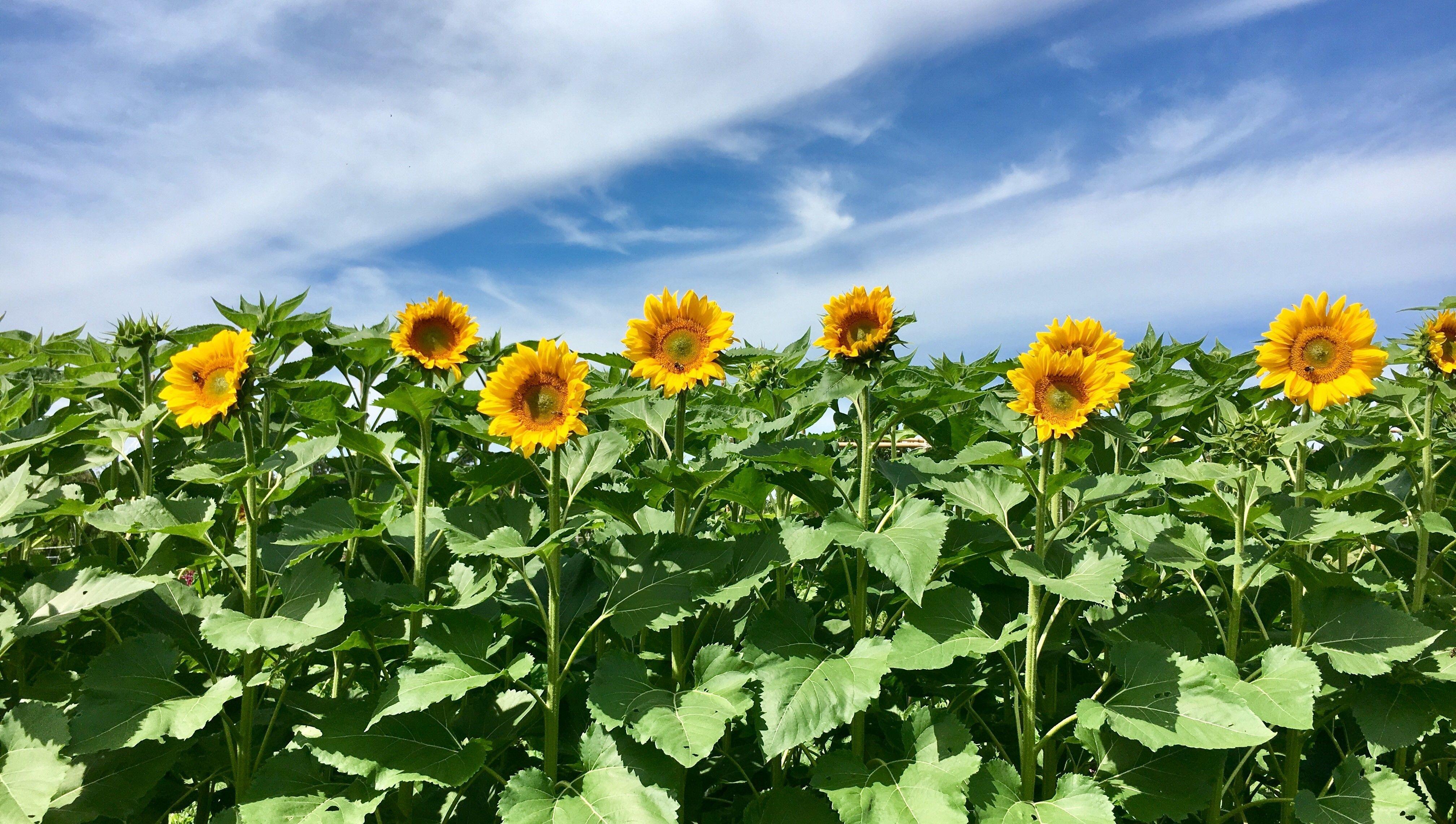 The Sunflower Project: Garden Kits