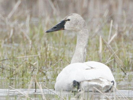 Tundra Swan, winter, feathers mostly white