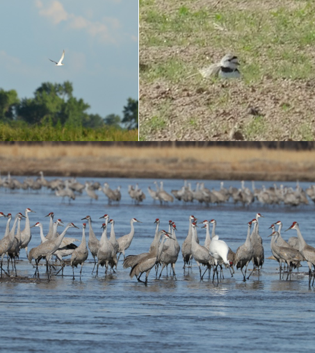 Endangered Species Day:  Interior Least Terns, Piping Plovers, and Whooping Cranes