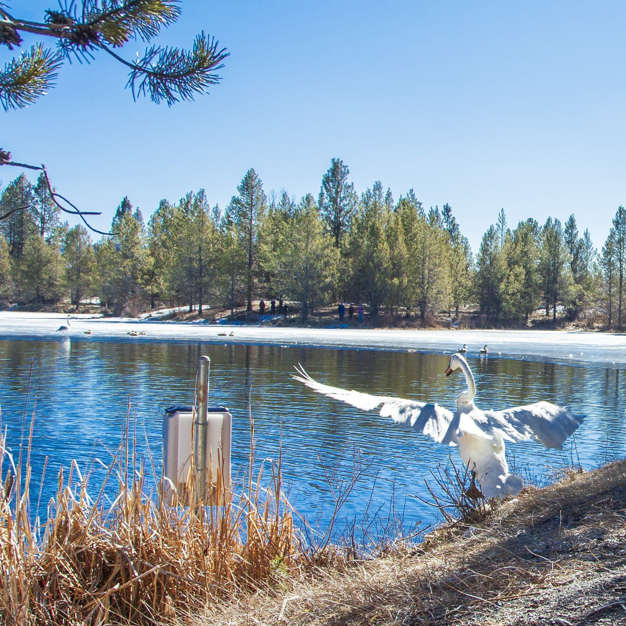 A Valentine's Day Gift: New mate introduced to Sunriver Trumpeter Swan Gus