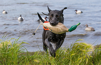 Five Ways to Prepare Your Duck Dog for Fall