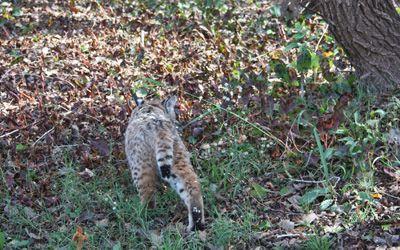 Bobcat rehabilitation and release Southwest Wildlife