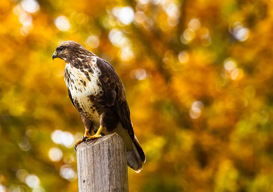 Spotting Hawks this Fall