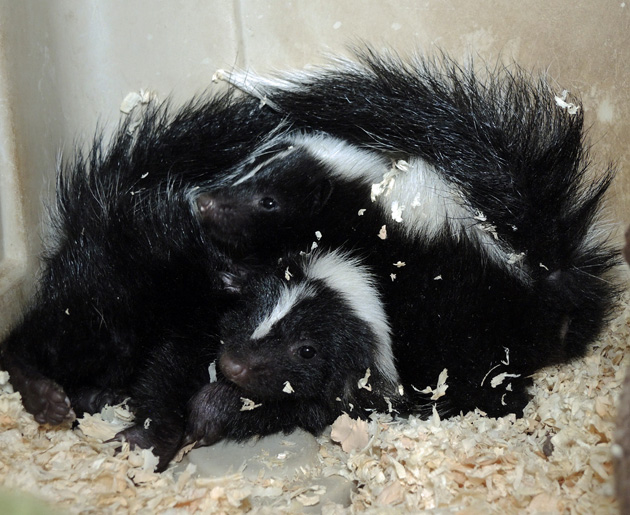 MORE SKUNKS!