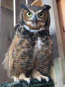 Loki the Great Horned Owl