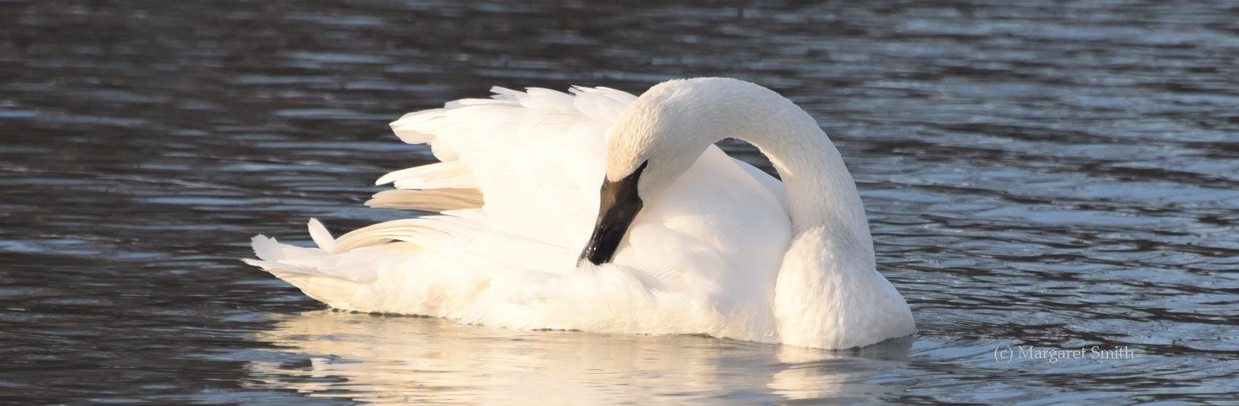 The Trumpeter Swan Society has links to general swan information and specific information about Trumpeter Swans