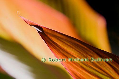 "Canna Lily Leaf, Chromogenic Print, 12"" x 18"""