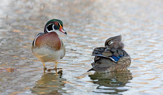 Ducks of many colors