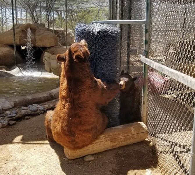 Back Scratching…a Blissful Bear Necessity of Life
