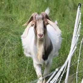 Goat Add-On