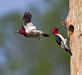 Beak of the Week: Red-headed Woodpecker
