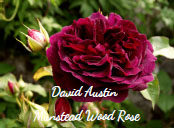 David Austin Munstead Wood Rose