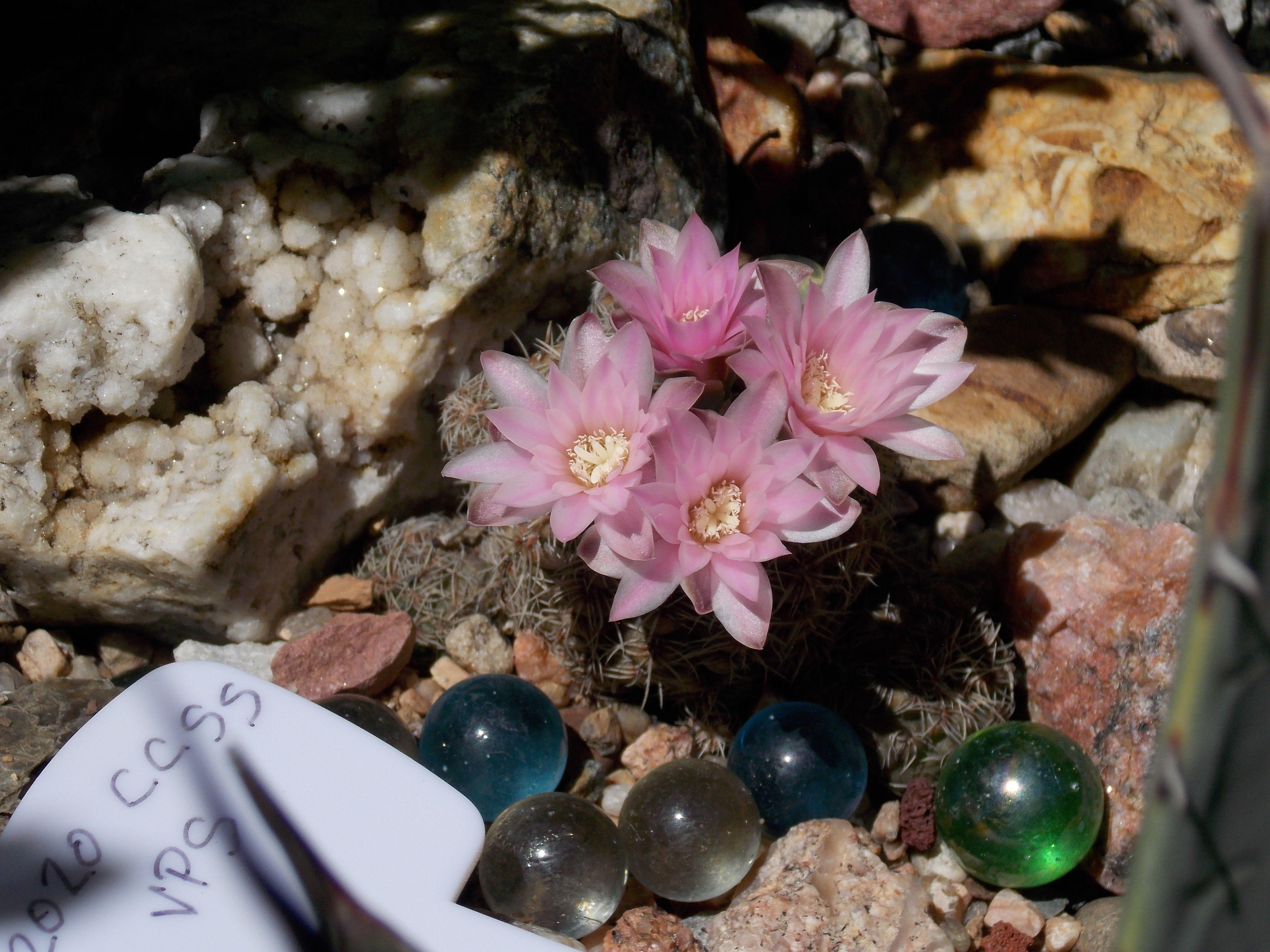 Gymnocalycium bruchii 2