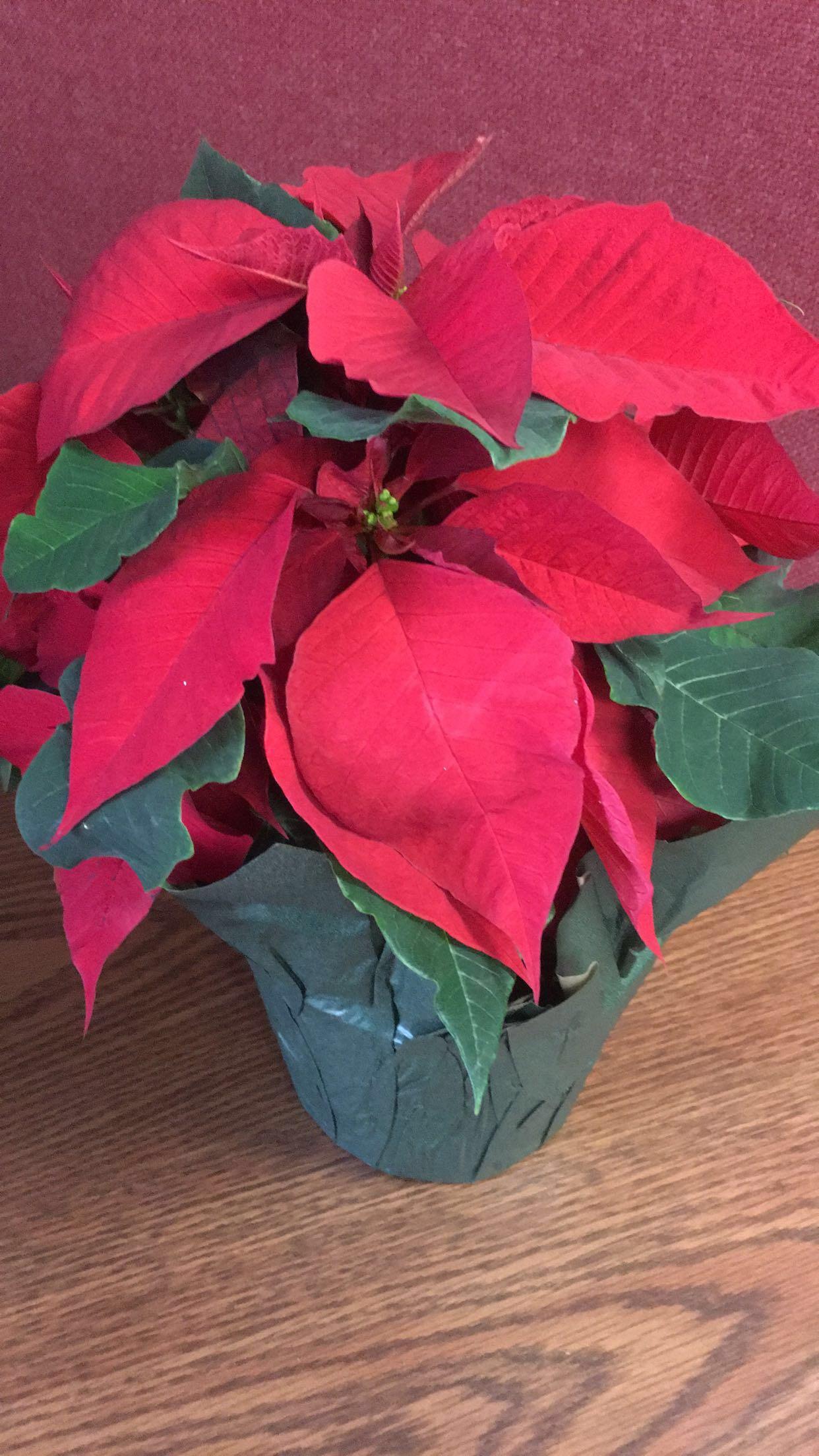 The Career Academy Grows Poinsettias for the Holiday Season