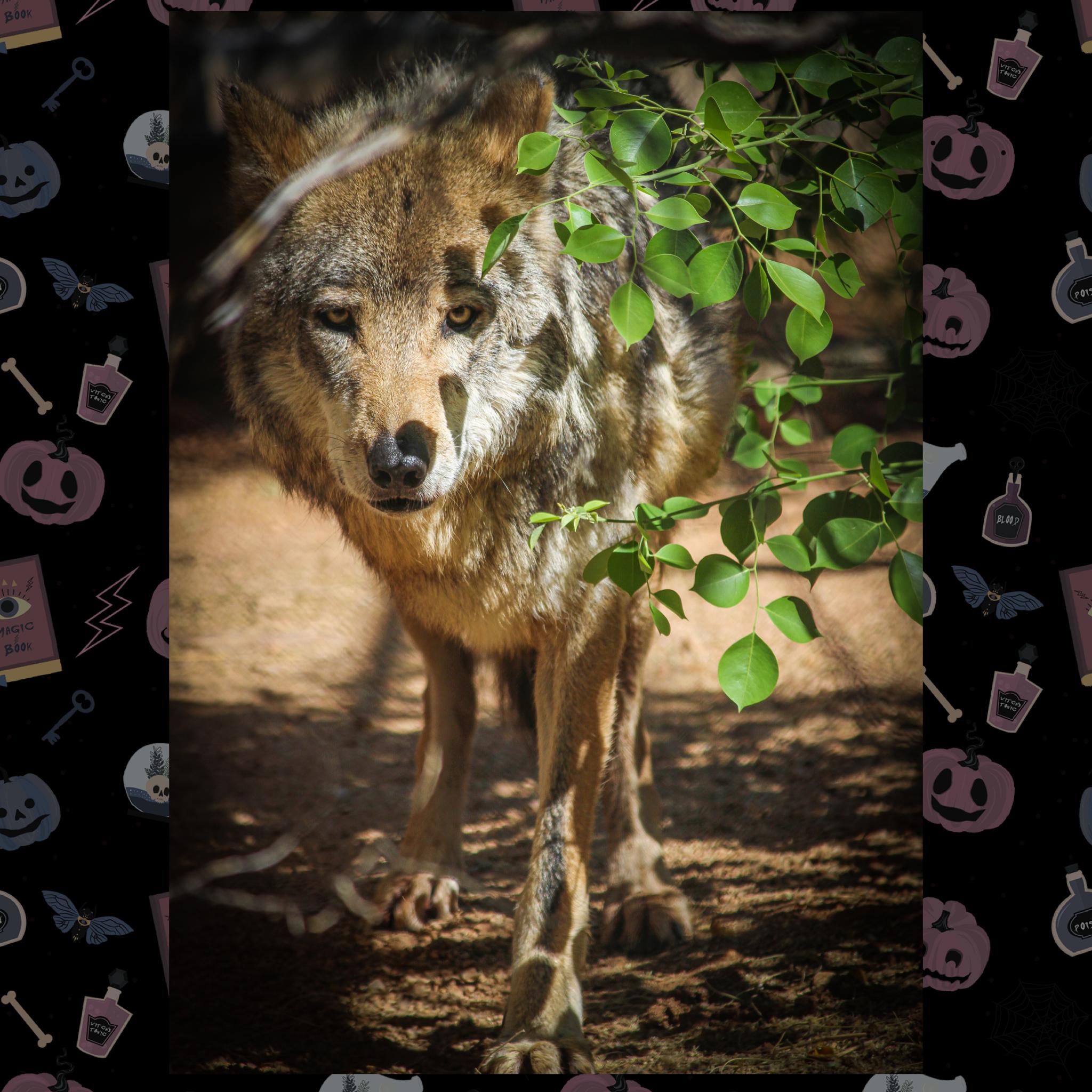 Wildlife Weekly: (Were)Wolves of Scottsdale