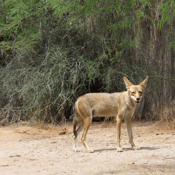 Wildlife Weekly: Coyote Mythbusting