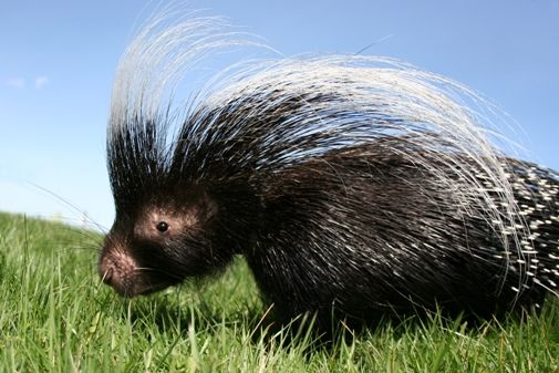 African Crested Porcupine | BRIDGET