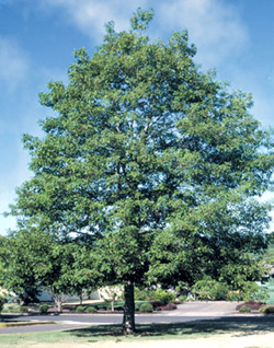 """White Oak Pack of 5 Seedlings (12""""-18"""")"""