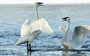 The Trumpeter Swan Society provided the best swan science expertise for swan restoration and management programs