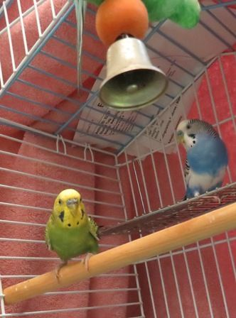Parakeets!