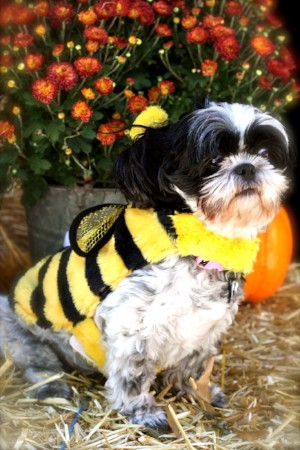 Goodwill Halloween Bumble Bee costume for a dog