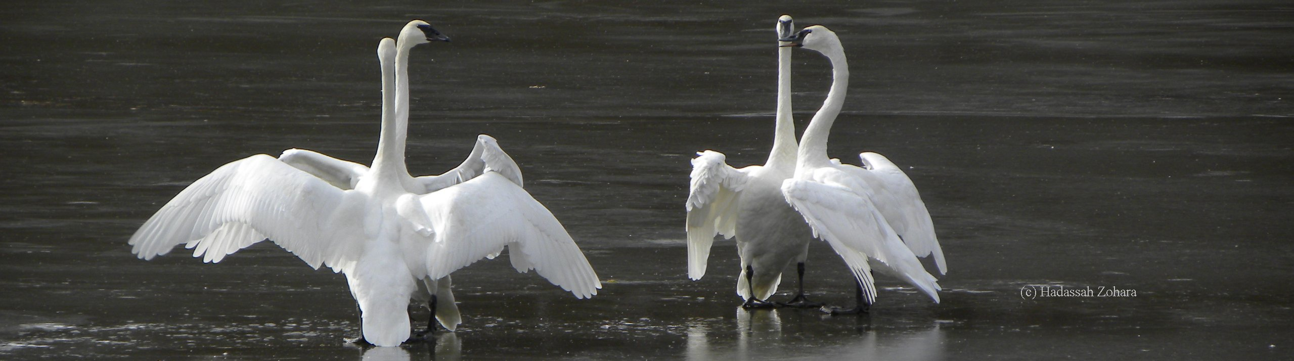 The Trumpeter Swan Society Blog has insights, commentary, and thoughtful discussion about trumpeter swan issues and activities