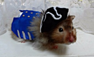 Goodwill Halloween Pirate costume for a hamster