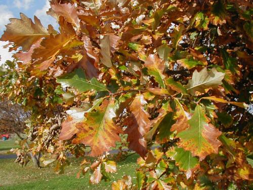 """Swamp White Oak Pack of 100 Seedlings (6""""-12"""")"""