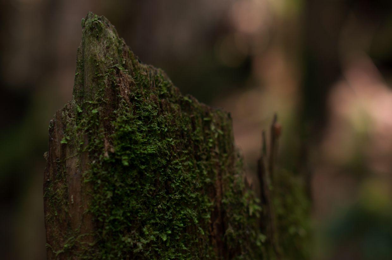 Rainbird 5, Cedar Stump with Moss