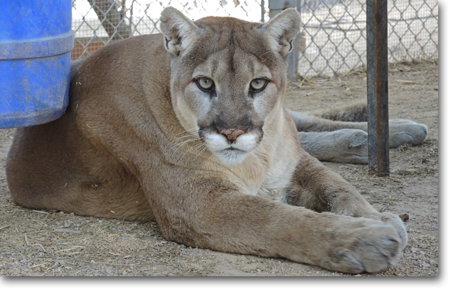 Kino Mountain Lion Southwest Wildlife Scottsdale Arizona
