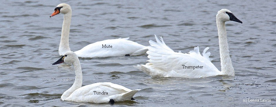 What kind of swan did you see?  Trumpeter? Tundra? Mute? Find out more
