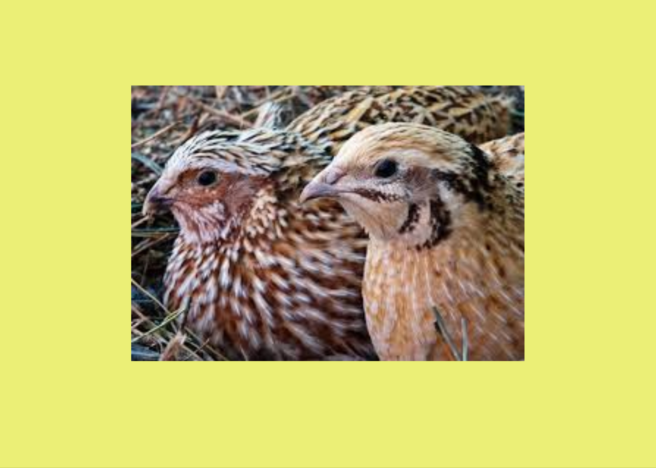 30 minute farm tour and visit with the Quails