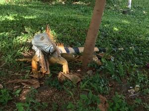 Giant Iguana in Costa Rica