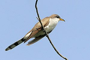 Beak of the Week: Yellow-billed Cuckoo