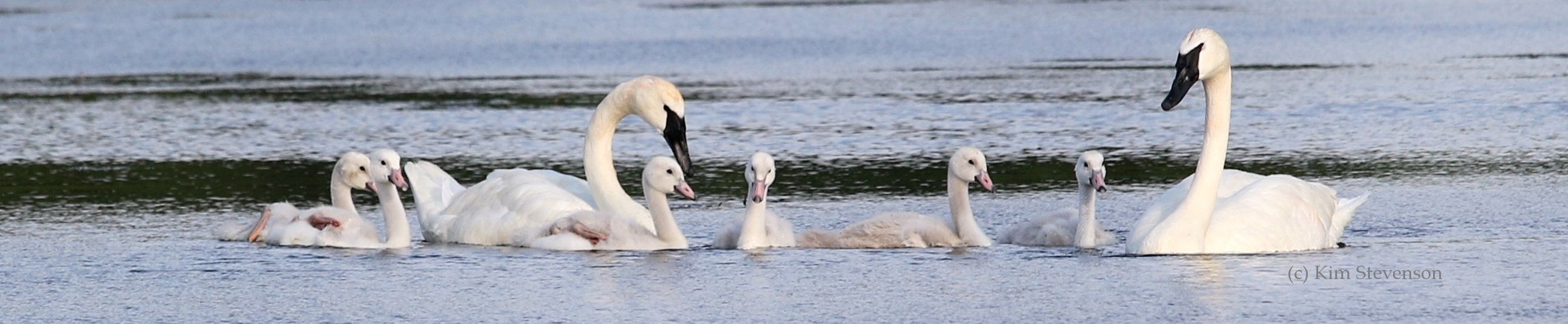 Your gifts of stock will be used to help swan conservation across North America