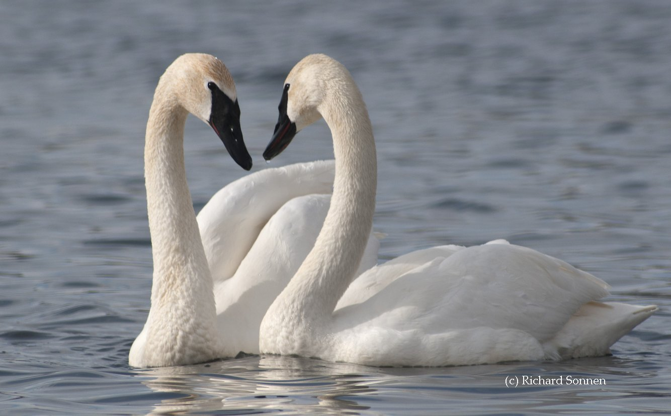 Check out our Swan Links by State